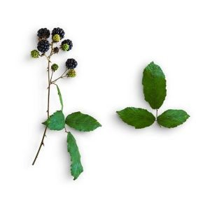 item-cover-blackberries-and-leaves-3