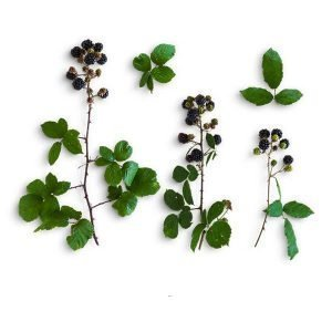 item-cover-blackberries-and-leaves-pack